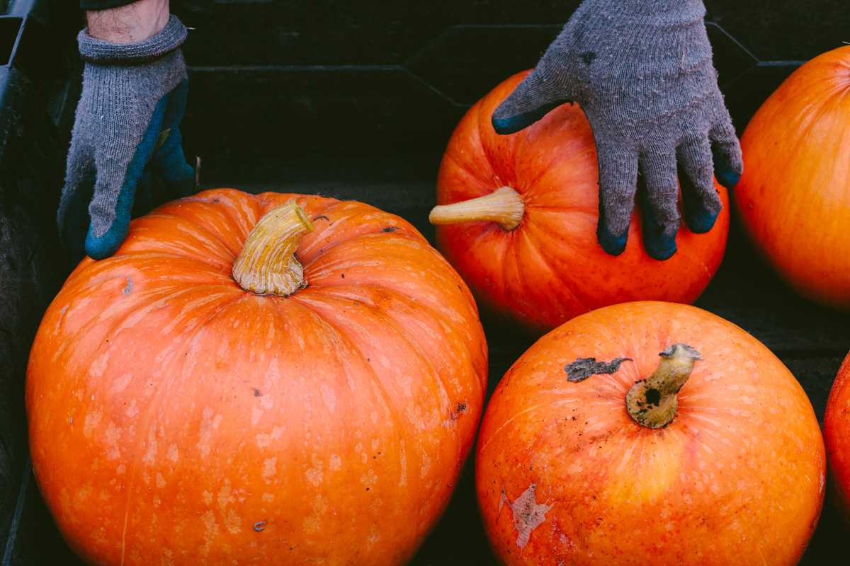 pumpkinharvest2016-10-of-25