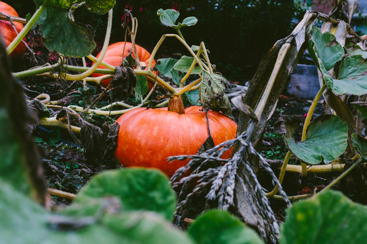 pumpkinharvest2016-2-of-25